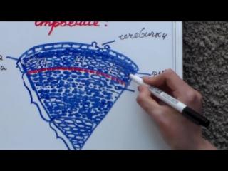 Урок биологии №6. Стебель. Функции, внутреннее строение и видоизменения.