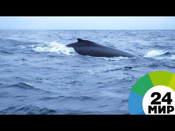 Под Петербургом заметили горбатого кита - МИР 24