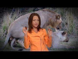 Лев, животное-м*дак: секс 40 раз в день, многоженство, драки, тунеядство // Все как у зверей
