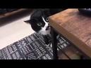 Кот поет на грузинском языке поющий кот- грузин cat sings in Georgian