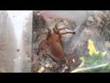 Chilobrachys huahini. Домашний паук-птицеед.