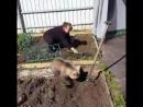 Обычный день в России. Медведь помогает на даче сажать картошку