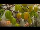 Карамбола (лат. Averrhoa carambola) ''ЯнТао'', либо ''Тянь ЯнТао'' (сладкая карамбола), или ''Го ЯнТао'' (фрукт карамбола), но в