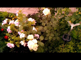 Садовое цветоводство: уход за розами - ч.1
