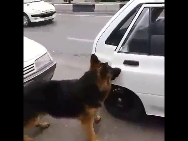 собака сам открывает дверь машина. саг дари мошина хдш мекушоя