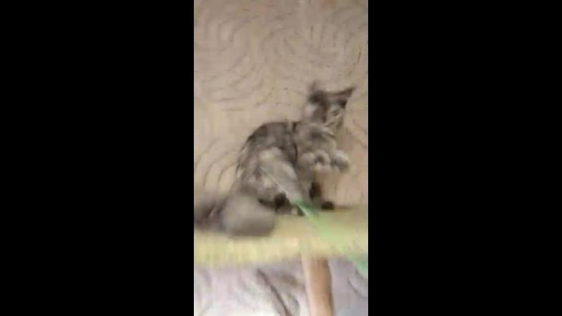 Мелиса кошка голубокремовая дымная черепашка