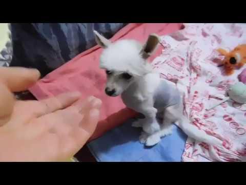 Предлагается к продаже голый мальчик китайской хохлатой собаки