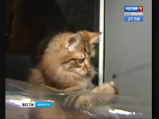 Выставка породистых котят прошла в Иркутске