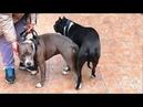 Скоро Щенки Стаффордширского Терьера! Soon Puppies American Staffordshire Terrier.