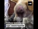 ТОК - Собаку спасли от раковой опухоли