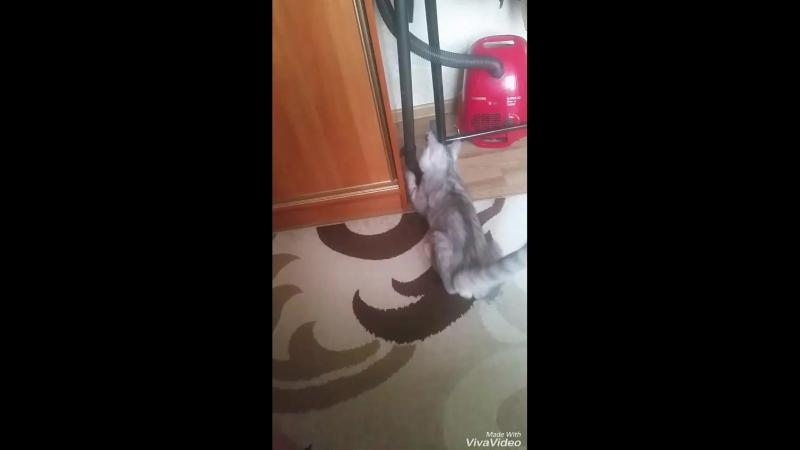 Битва Котика и пылесоса