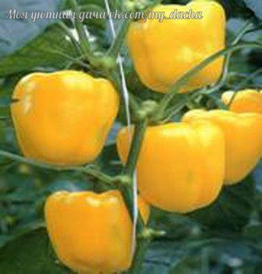 Болгарский перец посадка, выращивание, уход Если вы намерены вырастить болгарский перец на своем участке, то нужно учесть, что получить хороший урожай данного овоща можно при соблюдении