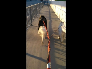 Хаски Алдан и хаски Айна со мной на пробежке:)