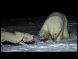Специально обученная собака против белого медведя.