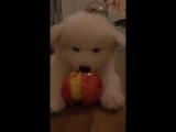 щенок ест яблоко