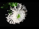 ABC TV How To Make Spider Chrysanthemum Flower From Crepe Paper 2 Craft Tutorial