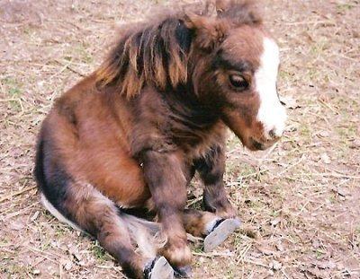 Самая маленькая лошадь в мире живет на ферме в Сент-Луисе (США, штат Миссури). Лошадка по кличке Тамбелина является именно лошадью, а не пони, но по размерам она еще меньше пони. Ее рост в холке – всего 44,5 см, то есть меньше роста среднестатистической лошади в три раза. Вес Тамбелины составляет всего 26 килограмм. Этот рекорд занесен в Книгу рекордов Гиннеса в 2006 году и до сих пор ни одна лошадка не смогла его побить.