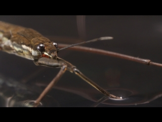 This Is Why Water Striders Make Terrible Lifeguards (Deep Look)