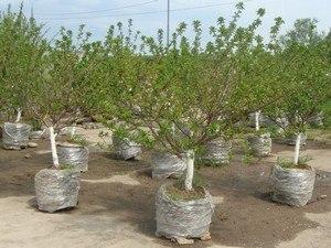деревья крупномеры купить