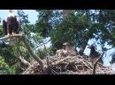 Roberts Bay Bald Eagle Nest - June 2-2017