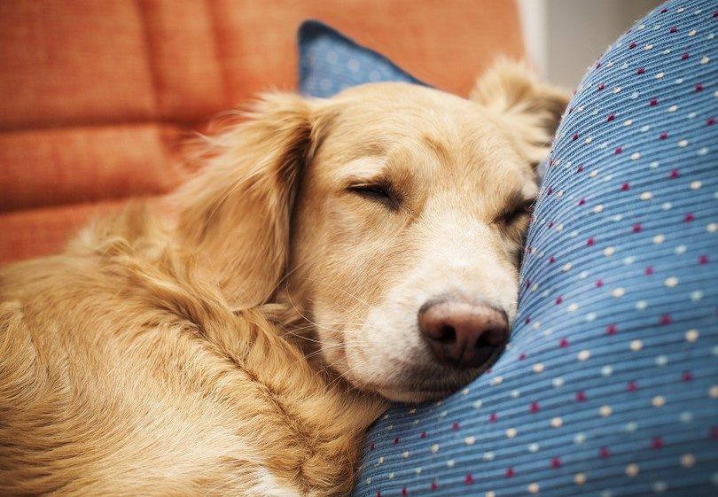 Лечение сердечно-сосудистой недостаточности у собак