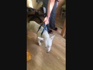 Похудевшая собака после 3 недель выживания в тайге