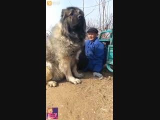 Тибетский Мастив