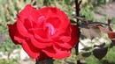 Укрытие роз на зиму Ошибки садоводов