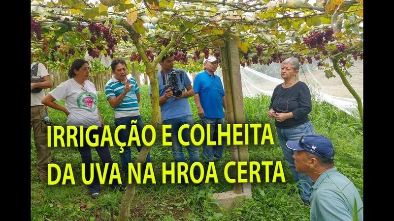 UVAS FINAS IRRIGAÇÃO E QUANDO COLHER, 03 Plantar em Casa