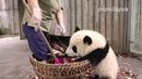 "Panda cub and nanny's ""war"