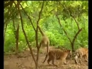 Гиббон троллит тигров хорошее настроение, смешное видео, юмор, животные, обезьяна, тигр, тигры, заповедник, природа, лес.