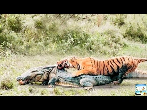 Тигр - Энергичный и Сильный. Самая Большая Дикая Кошка в Мире _ Full-HD.mp4