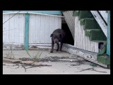 This pregnant Pit Bull was not alone under this abandoned school!!