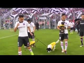 Песики на поле футбольного клуба colo-colo