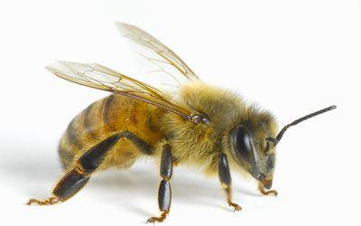 Используемый веками в народной медицине, дикий мед в настоящее исследуется, на предмет подтверждения его полезность для здоровья.