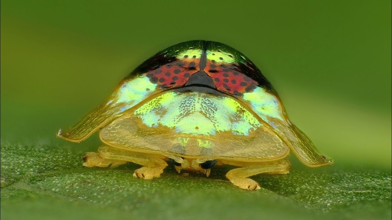 Ruby Gold Target Tortoise Beetle from Ecuador