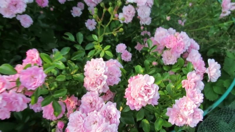 MVI_7897 розы Тэ Фейри., цветет большую часть сезона