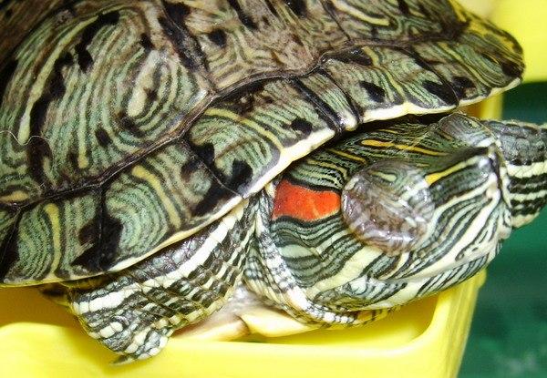 Опухли глаза у красноухой черепахи лечение