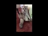 Реакция кота на свою кастрацию Где мой яйца
