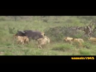 реальная Африка. Прайд львов охотится на буйволов