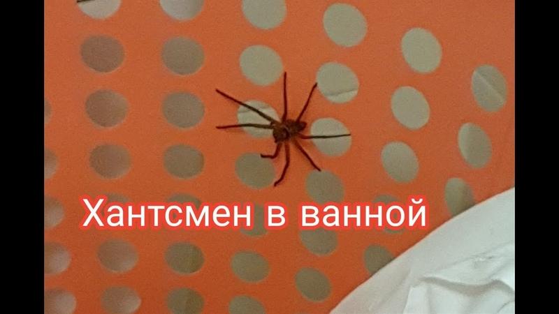 Хантсмен и немного информации об этих пауках