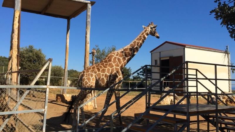 Кипрский зоопарк. Жирафы