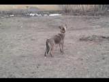 Ноганно - Собака съела товар