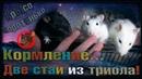 (Р) Кормление двух стай крысят. Трио хасей, и стая Пипина с Лисёнком. (Wild Rats)