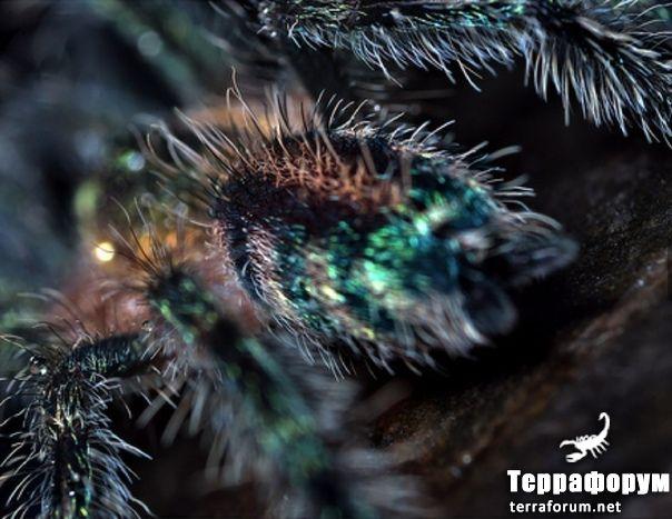 Avicularia diversipes