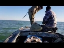 Ауға сүңгуір үйрек түсіп қапты Арал теңізі