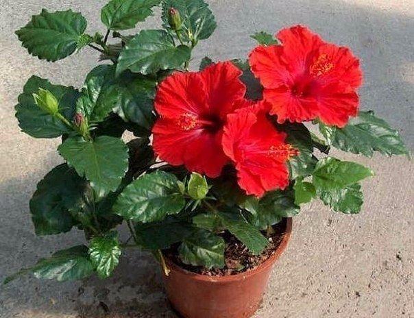 цветочные приметы с домашними растениями в народе связано много примет и пословиц.плющ,например,называют «мужегоном», потому что он якобы гонит из дома мужчин. однако растение, растущее в углах