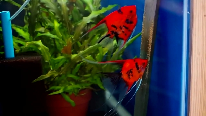 Скалярия красный дьявол (Pterophyllum scalare red devil).mp4