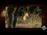 Странные охотники.Отжали добычу у львиного прайда.