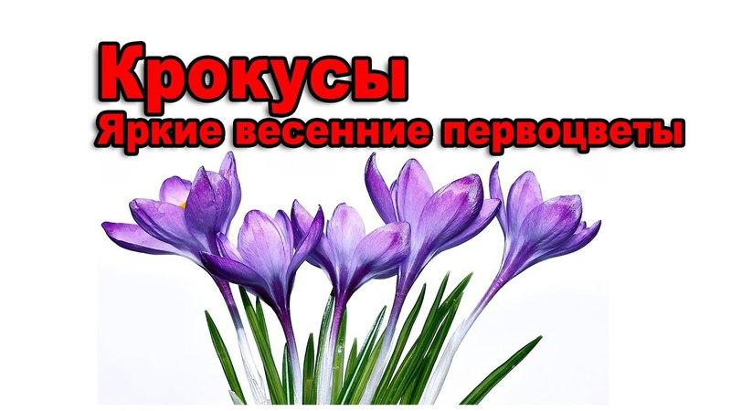 Крокусы яркие весенние первоцветы